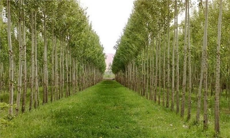 ۱۷۰۰ هکتار از اراضی چهارمحال و بختیاری به زراعت چوب اختصاص یافت