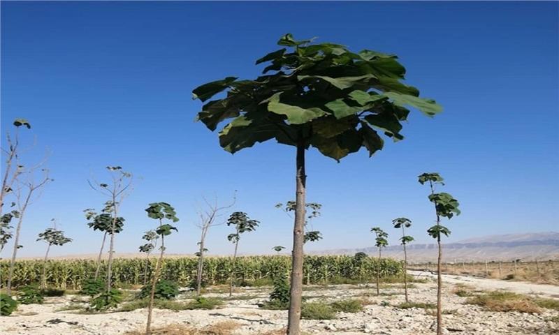 برای نخستین بار کاشت درخت پائولونیا در کازرون