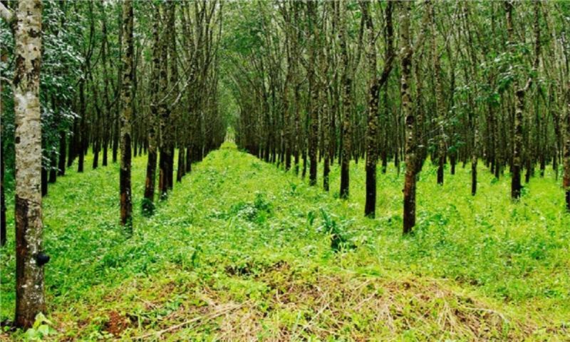 جنگل ها نفس تازه می کنند/ چشم کارخانه های نیمه جان به زراعت چوب