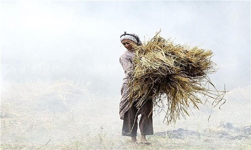 انتقادها از طرح تولید کاغذ با استفاده از کاه در کشور/ ۱۵ سال دیگر دام ها کاه هم برای خوردن ندارند
