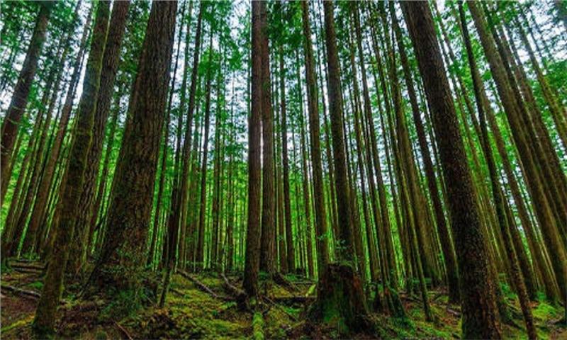کار برداشت چوب از دو هزار و ۸۰۰ هکتار اراضی ملی گیلان آغاز شده است