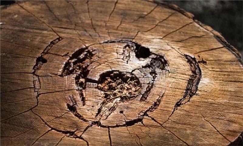استفاده از نوعی باکتری برای جلوگیری از پوسیدگی چوب