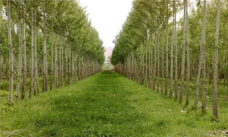 زراعت چوب؛ فرصتی برای تنفس جنگل ها