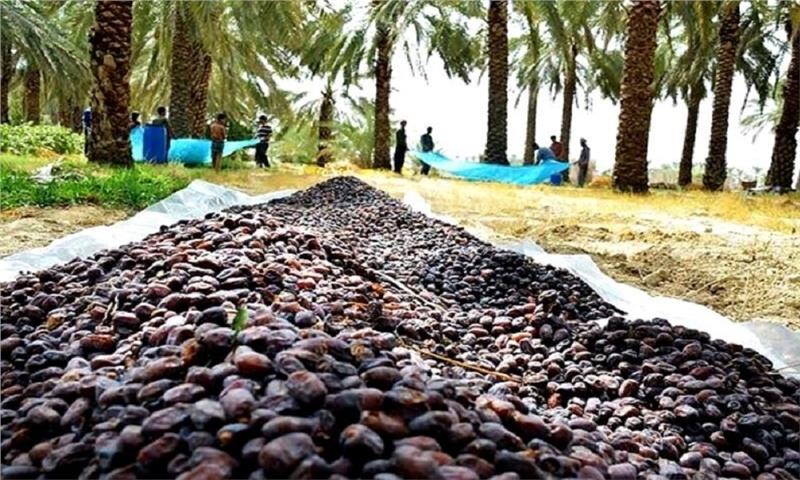 مشکل خرمای بوشهر درسال مانع زدایی از تولید داخلی حل میشود؟